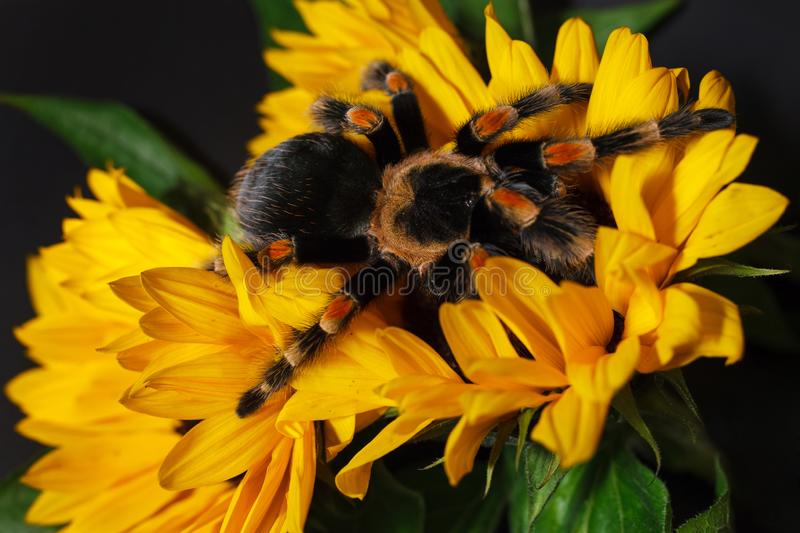 Bright huge birdeater tarantula spider Brachypelma Smithi with colorful sunflowers. Large dangerous giant arachnid stock photography