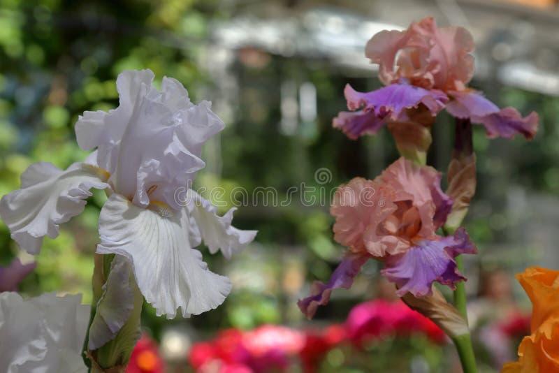 Bright iris bloom. Iris. Beautiful flowering bright summer flower of the family Iridaceae stock photo