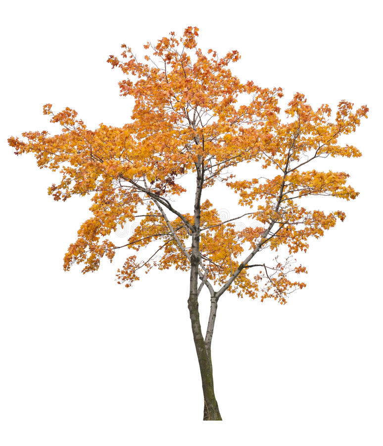 Free Bright Isolated Orange Maple Tree Royalty Free Stock Images - 35915569