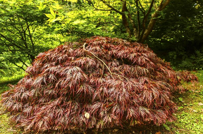 Bright japanese maple Acer japonicum in the autumn garden royalty free stock photo