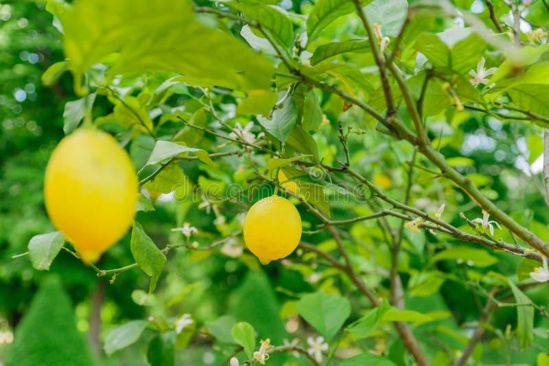 Bright juicy lemons hanging on a tree. Growing citrus fruits.  stock photo