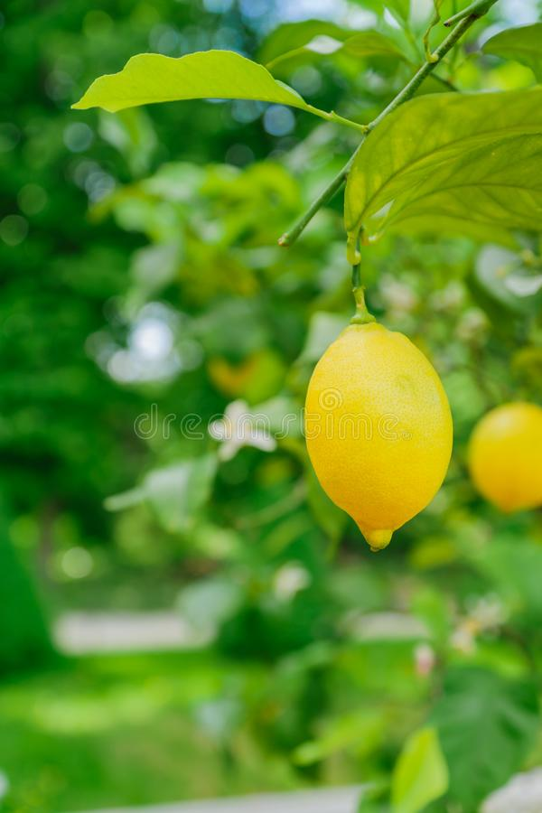 Bright juicy lemons hanging on a tree. Growing citrus fruits, soft focus.  royalty free stock photo