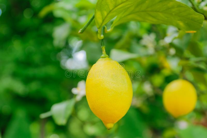 Bright juicy lemons hanging on a tree. Growing citrus fruits, soft focus.  stock photography