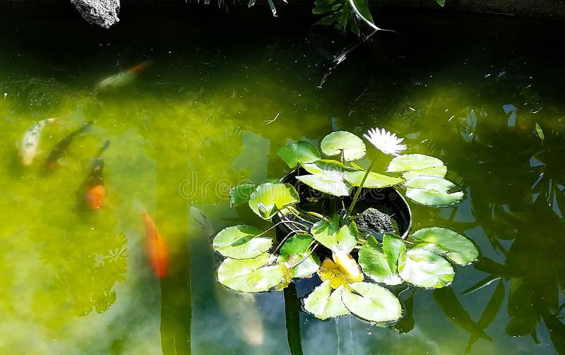 Bright Koi Fish, Lily Pads, and Reflections in the Pond stock image