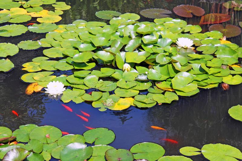 Water lilies and red fish in the pond. Bright large water lilies with white flowers on the background of green leaves and red fish in the pond royalty free stock photos