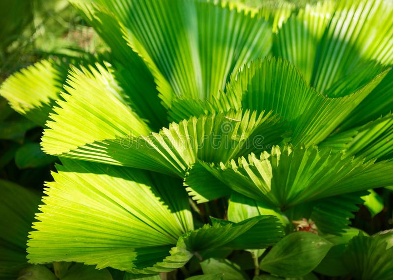Bright leaves of Licuala grandis or the Ruffled Fan Palm. In green tropical garden royalty free stock images