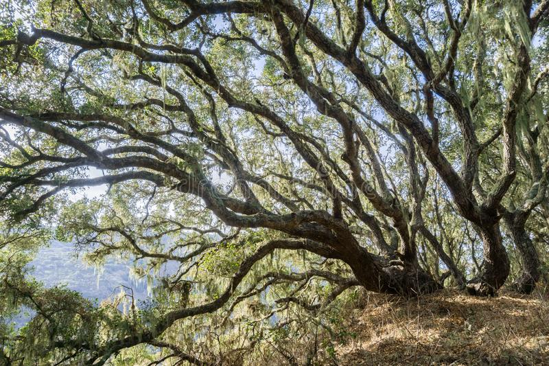 Bright light shining through a forest of Coastal live oak (Quercus agrifolia), lace lichen (Ramalina menziesii) hanging from the. Tree branches, Montana de Oro royalty free stock photo