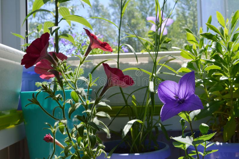 Bright little garden on balcony. Violet Platycodon grandiflorus and red petunia flowers, osteospermum and other plants. In flowerpots stock images