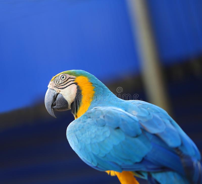 Bright macro photo of a beautiful blue macaw parrot. In a park stock photography