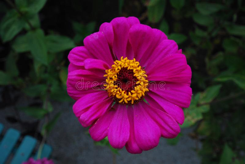 Bright Magenta Flower with yellow middle and dark garden background. Pretty - Taken in Snug Harbor Summer to fall Zinnia royalty free stock images