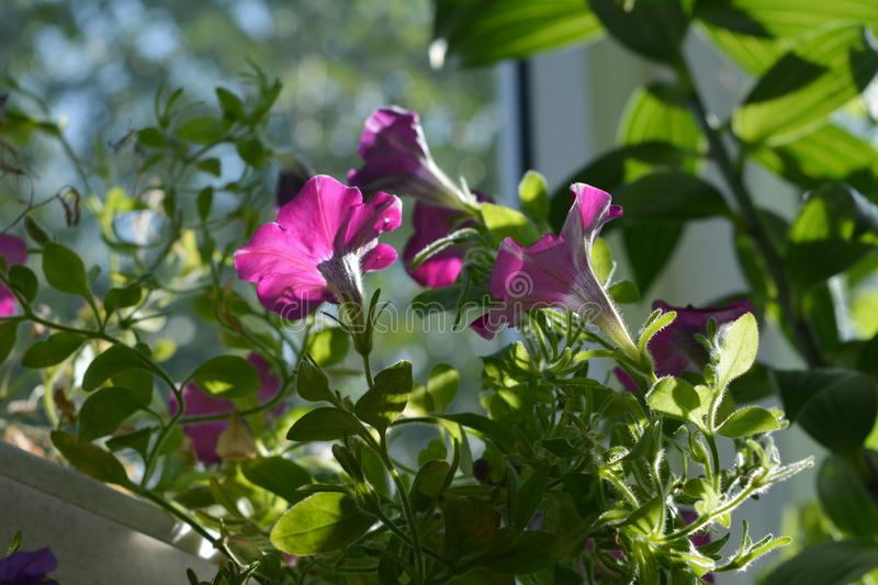 Bright magenta petunia flowers among green leaves. Balcony greening with decorative plants.  stock image