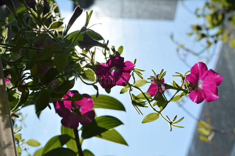 Bright magenta petunia flowers in sunny day. Balcony greening with decorative plants.  stock photos