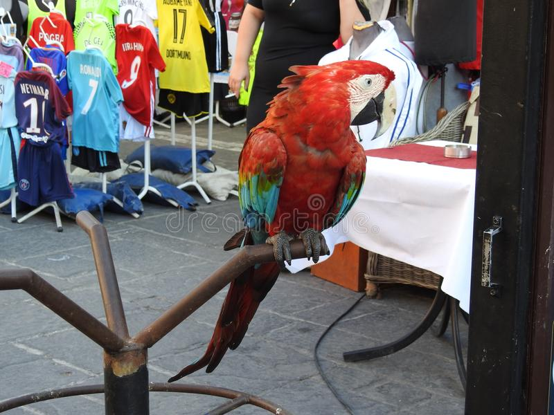 Parrot attracting tourists. The bright, magnificent parrot on the street of the fortress of Rhodes so tried to show himself ... he just demanded - `Look at me royalty free stock images