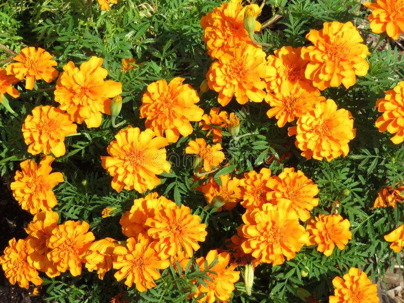 Bright Marigold Flowers in September stock photography
