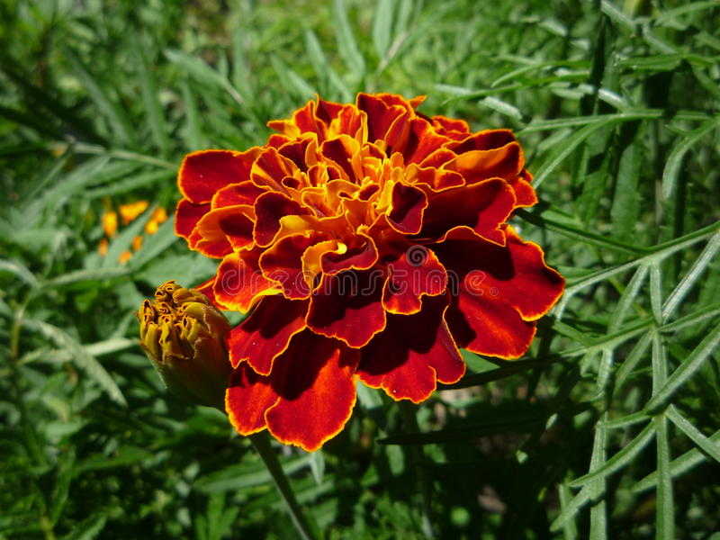 Bright marigold royalty free stock photo