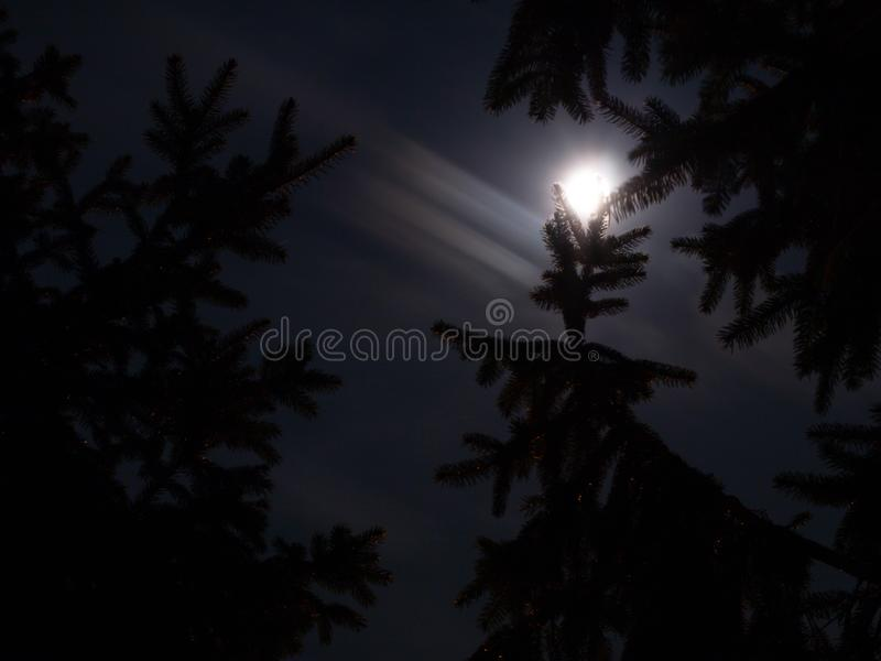 Moonlight over spruce trees royalty free stock image