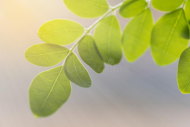 Bright Morning Sunray Backlit Leaves. Sunlight coming through the green leaves on a soft blurred background stock photography