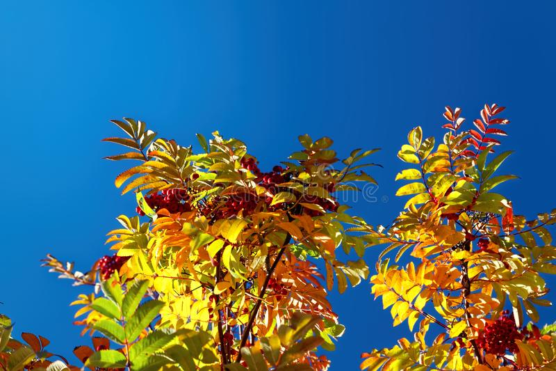 Bright multicolored autumn leaves of mountain ash against the blue sky. Mountain ash with colorful leaves in the autumn forest royalty free stock photo