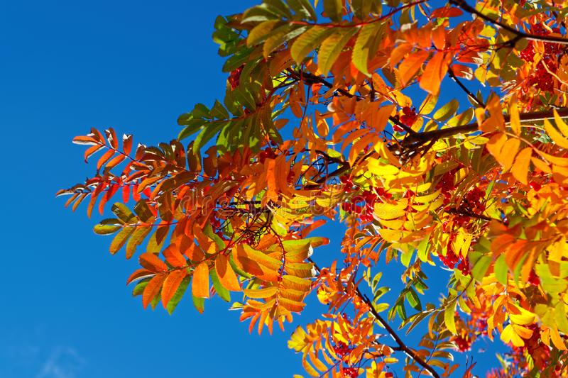 Bright multicolored autumn leaves of mountain ash against the blue sky. Mountain ash with colorful leaves in the autumn forest royalty free stock photography