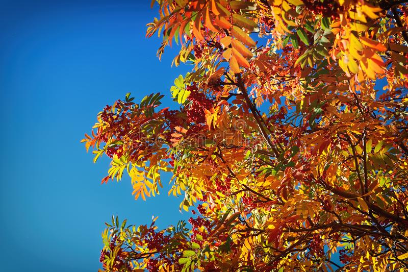 Bright multicolored autumn leaves of mountain ash against the blue sky. Mountain ash with colorful leaves in the autumn forest stock image