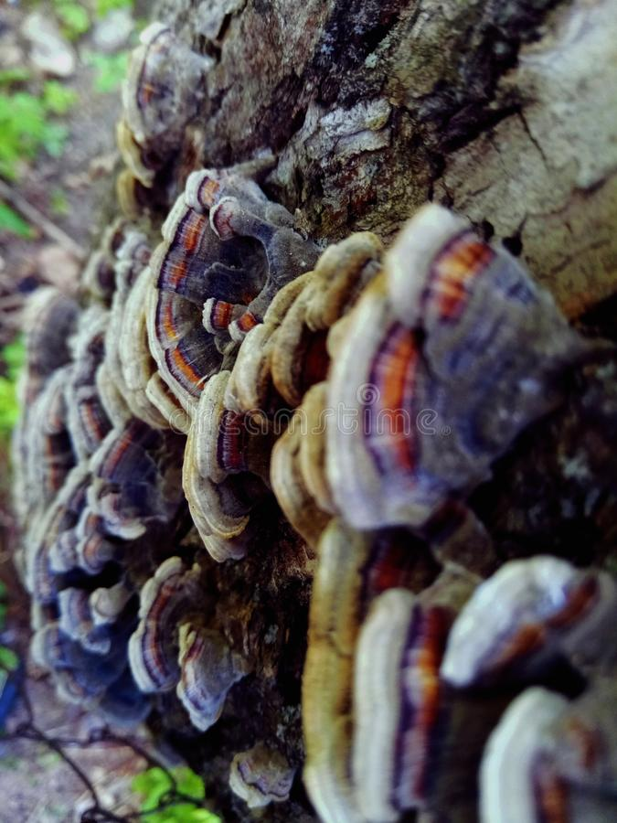 Bright mushroom `Trametes versicolor` royalty free stock photo