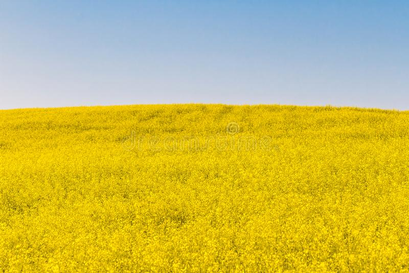 Mustard field and blue sky royalty free stock photography
