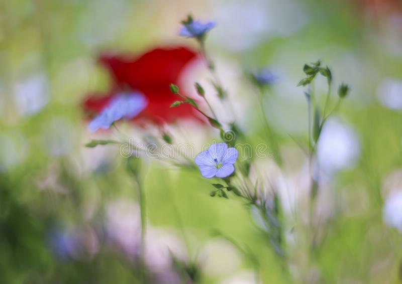 Beautiful bright natural background with small flowers of blue flax and red and pink poppies grow on a gentle summer meadow stock images