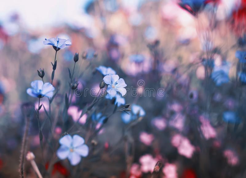 Natural background with small flowers of blue flax and red and pink poppies grow on a gentle summer meadow. Bright natural background with small flowers of blue royalty free stock photos