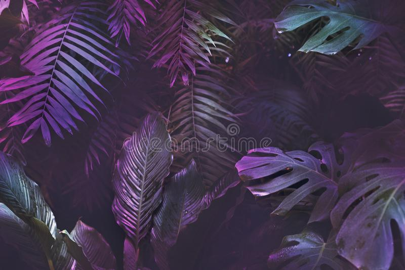 Bright neon tropical palm background leaves pink and dark jungle texture. Copy space, foliage backdrop royalty free stock photos