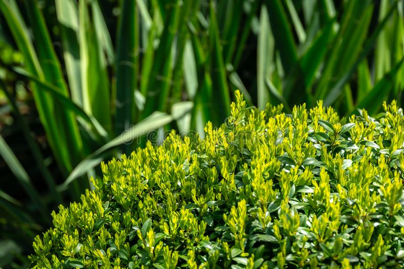 Bright new green foliage of boxwood Buxus sempervirens with dark green thickets of Yucca filamentosa royalty free stock images