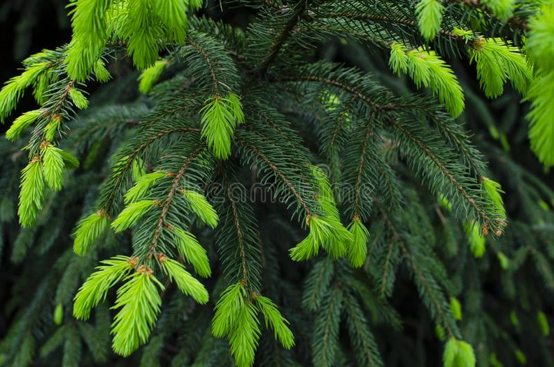 Bright new green needles of the Christmas tree. Shades of green. Bright green background. stock image