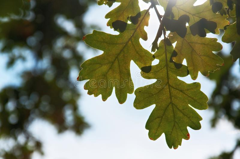 Bright Oak Leaves royalty free stock images