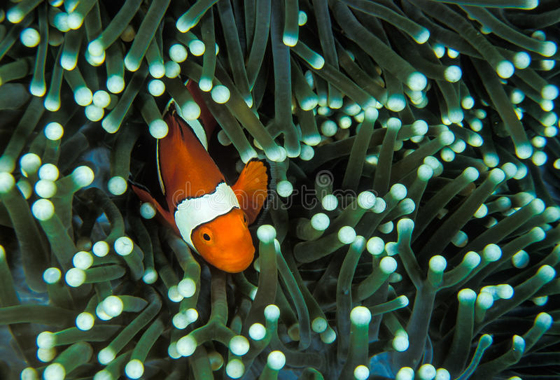 A bright orange anemone fish. A bright orange clown fish brushing itself against the tentacles of a green anemone royalty free stock images