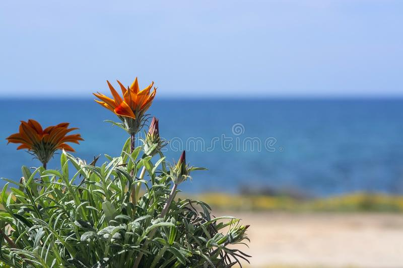 Bright orange aster flower blue sea horizon space stock photos