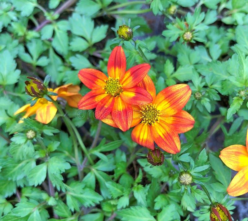 Bidens Ferulifolia Blazing Glory