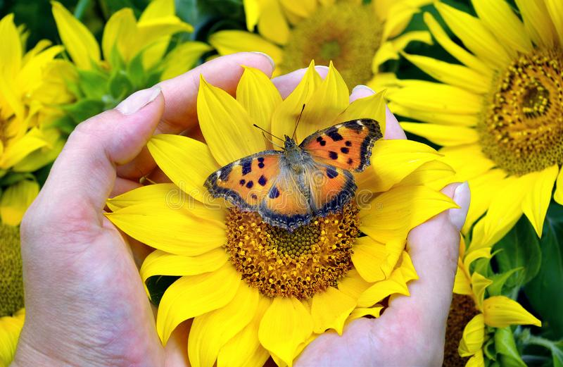 Bright orange butterfly sitting on a sunflower. sunflower flowers in hands. large tortoiseshell butterfly. stock photo