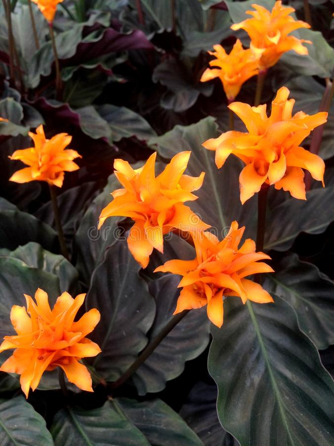 Bright orange Calathea Crocata Tasmania flowers. Also known as Eternal Flame surrounded by dark leaves stock photos