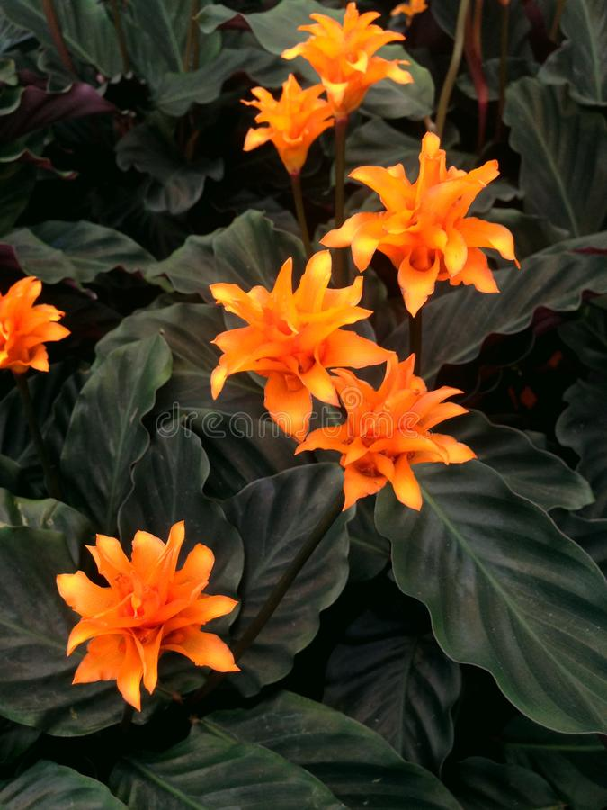 Tropical orange Calathea Crocata Tasmania flowers with dark leaves royalty free stock photos