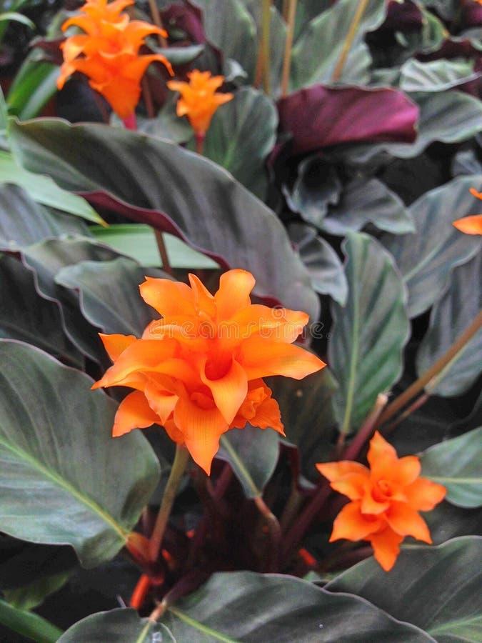 Tropical orange Calathea Crocata Tasmania flowers with dark leaves stock images