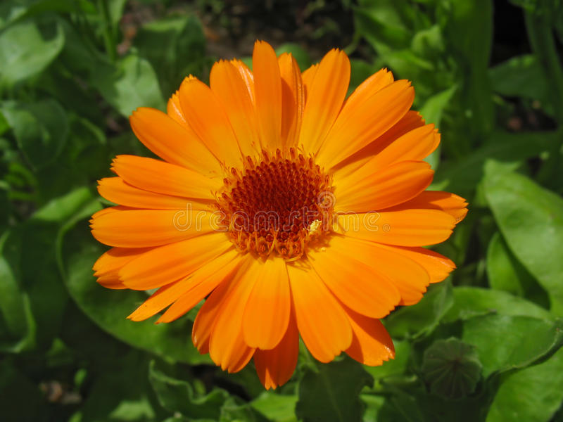 Bright orange calendula flower stock image