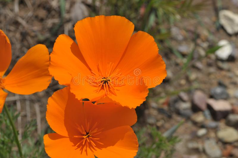 California Poppy Eschscholzia californica Close Up stock images