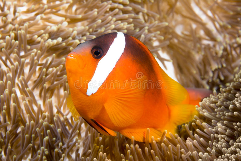 Bright orange clownfish. A bright orange clownfish swims around the tentacles of a giant anemone,, which it uses as its home royalty free stock photography