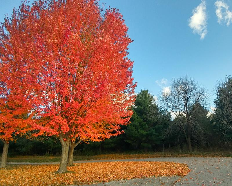 Bright Orange Fall Tree with Leaves Falling. A bright orange fall maple tree with leaves on the tree and also covering the ground in Wisconsin royalty free stock photography