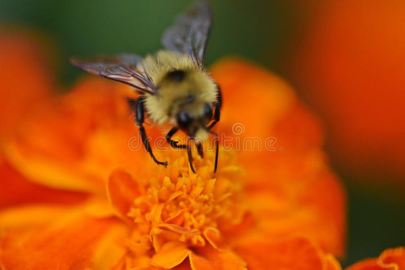 Bright Orange flower with fluffy bumblebee pollinating micro photo stock photos