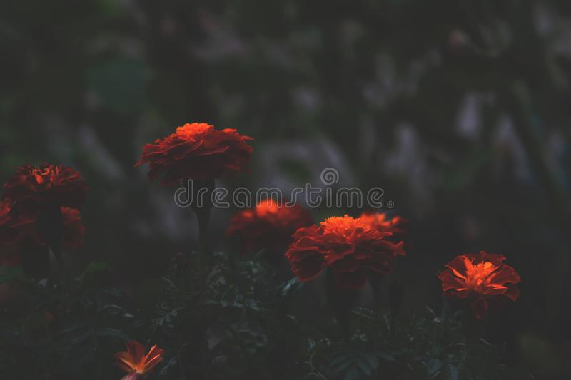 Bright orange flowers contrast with a dark background in the evening. Tagetes in the shade, abstract dramatic style expressing. Melancholy and sadness stock photo