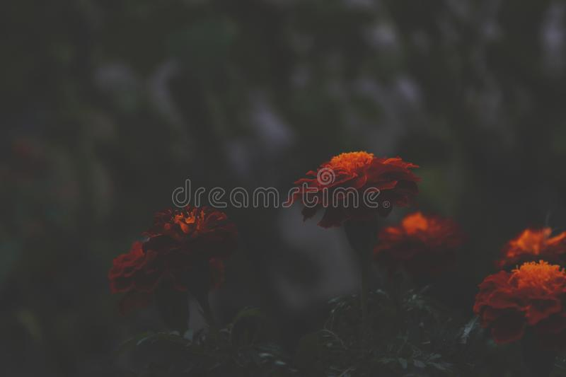 Bright orange flowers contrast with a dark background in the evening. Tagetes in the shade, abstract dramatic style expressing. Melancholy and sadness royalty free stock photos