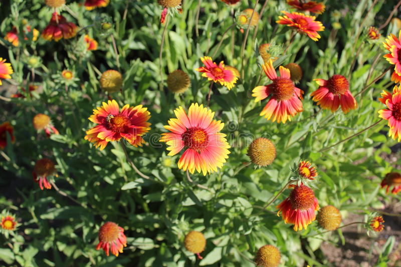 Bright orange flowers have jagged petals. royalty free stock image