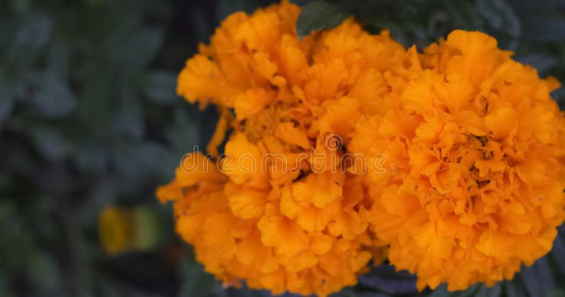 Bright orange flowers marigolds growing in the garden with a copy of the space stock image