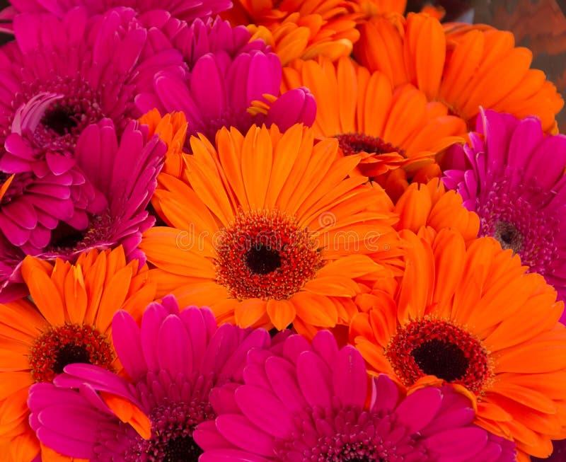 Bright Orange and Hot Pink Gerbera Daisies stock photography