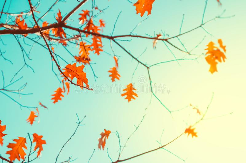 Bright orange leaves on tree over blue sky. In autumn in sunny day stock images